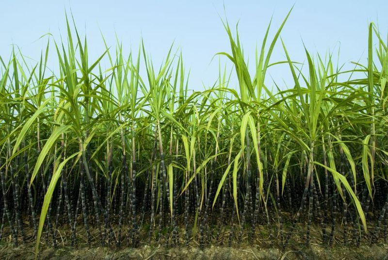 Sugarcane-smaller